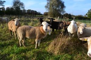 Kuba und Schafe