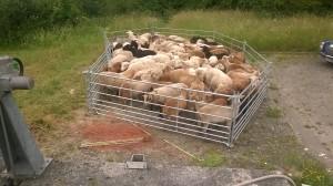 Schafe einpferchen