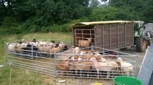Schafe sortieren